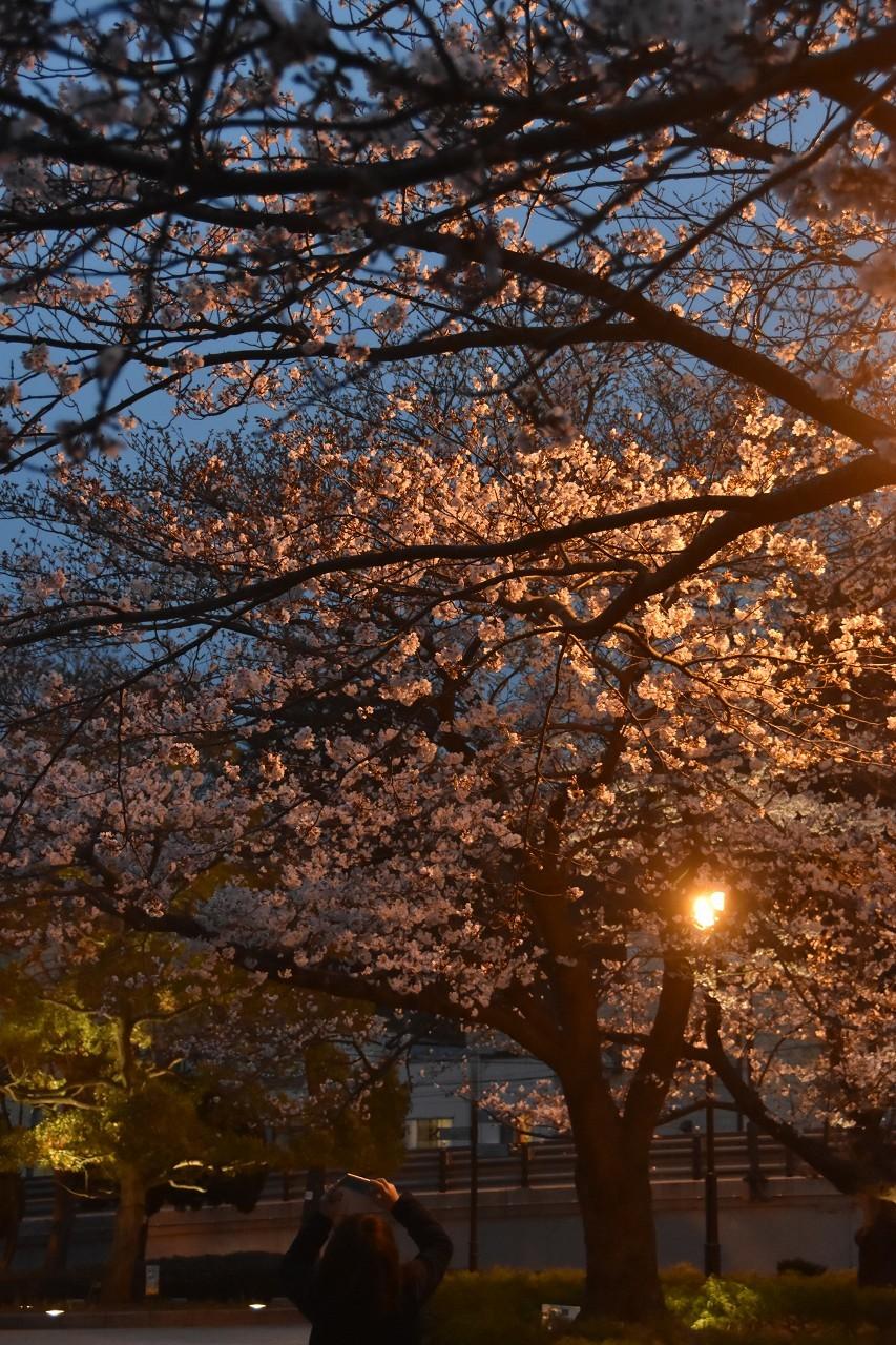 桜 2019 ヴェルニー公園 4_d0065116_22371316.jpg