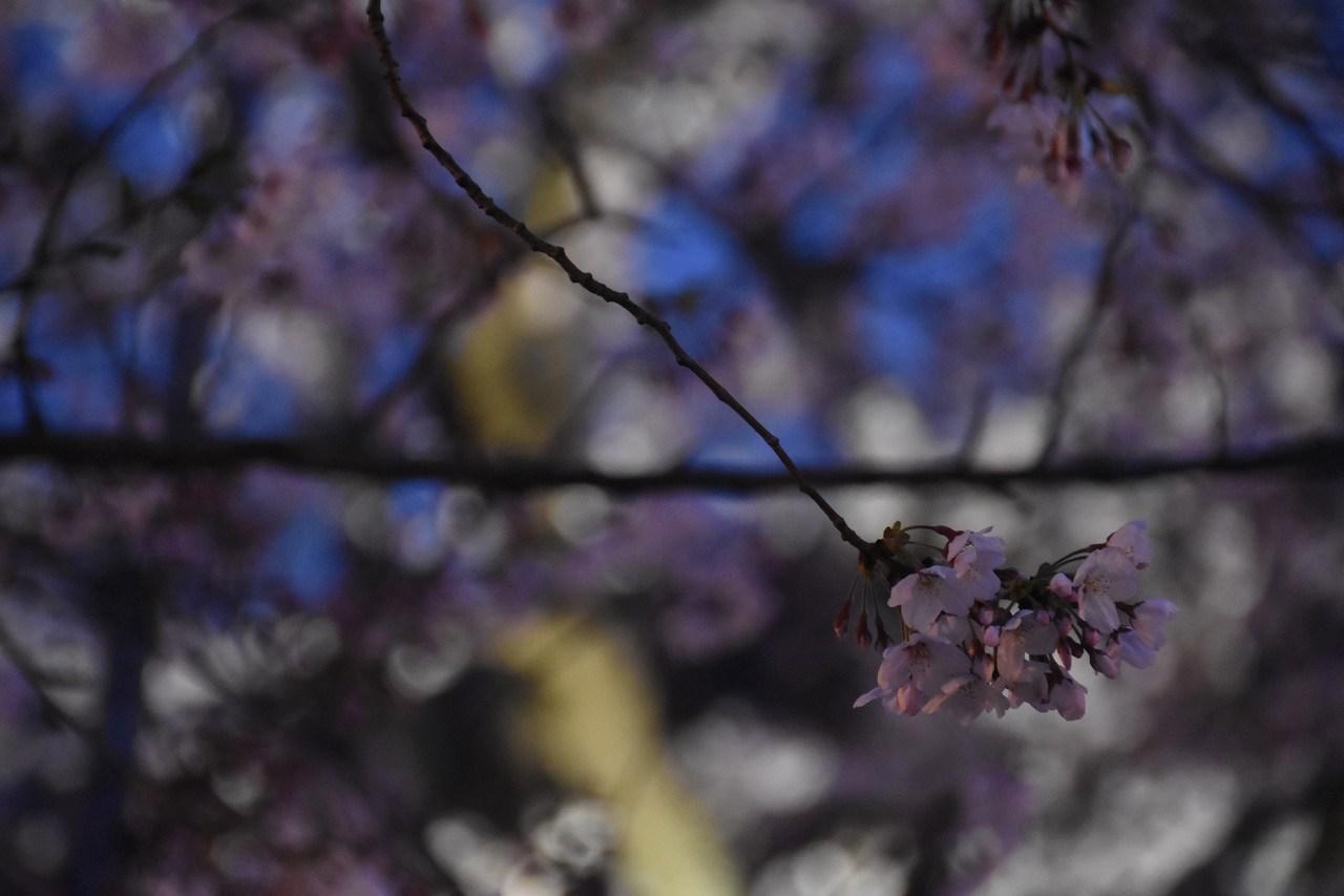 桜 2019 ヴェルニー公園 4_d0065116_22381002.jpg