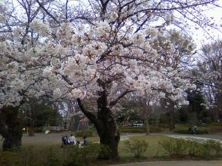 桜の季節、多摩婚俱楽部会員さん同士のお見合いも_b0255217_12123421.jpg