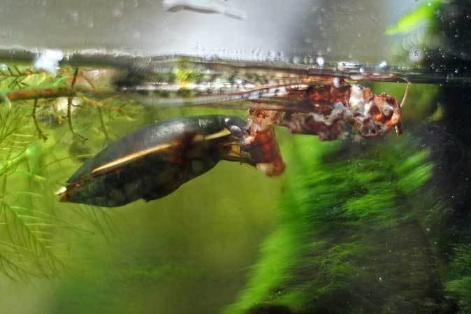 昆虫園本館だより~タガメとゲンゴロウ(多摩動物公園)_b0355317_22051298.jpg