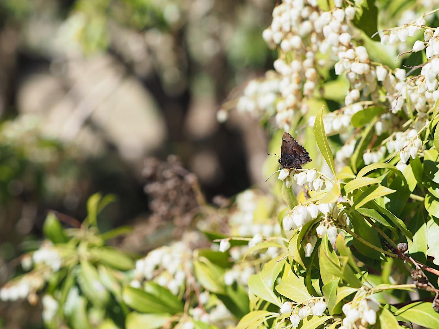 アセビにくる蝶たち、コツバメ(2019年3月27日)_d0303129_14181254.jpg