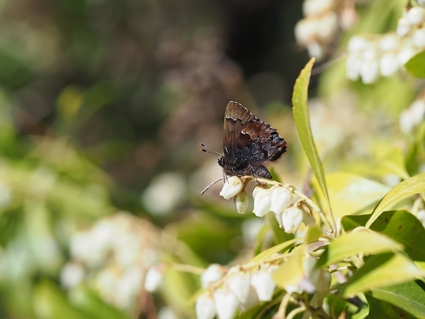 アセビにくる蝶たち、コツバメ(2019年3月27日)_d0303129_14181812.jpg