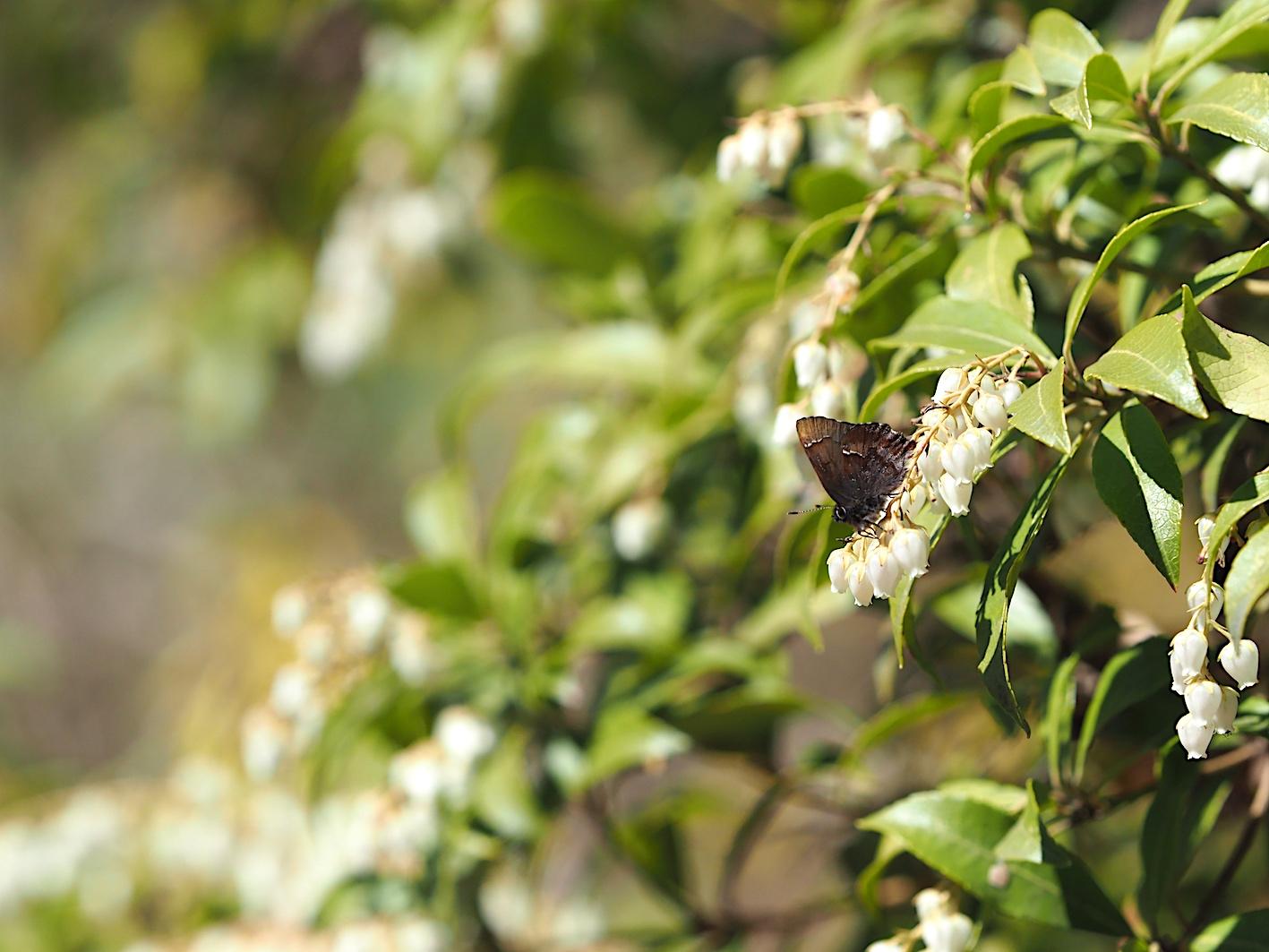 アセビにくる蝶たち、コツバメ(2019年3月27日)_d0303129_14182767.jpg