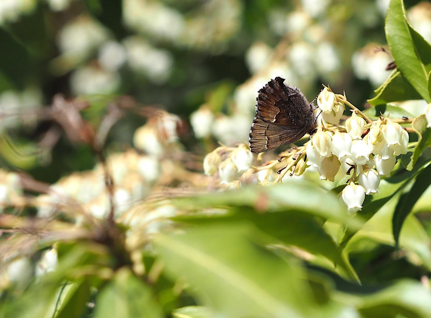 アセビにくる蝶たち、コツバメ(2019年3月27日)_d0303129_14183575.jpg