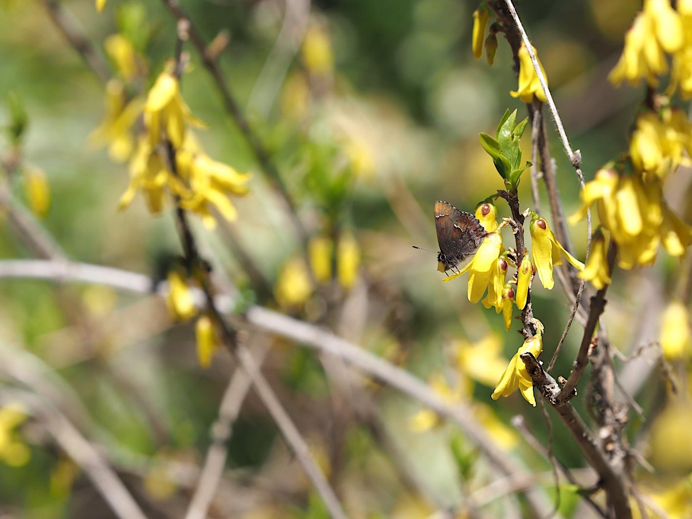 アセビにくる蝶たち、コツバメ(2019年3月27日)_d0303129_14184346.jpg