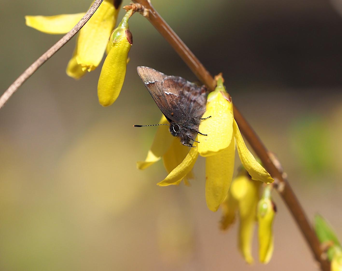 アセビにくる蝶たち、コツバメ(2019年3月27日)_d0303129_14185871.jpg