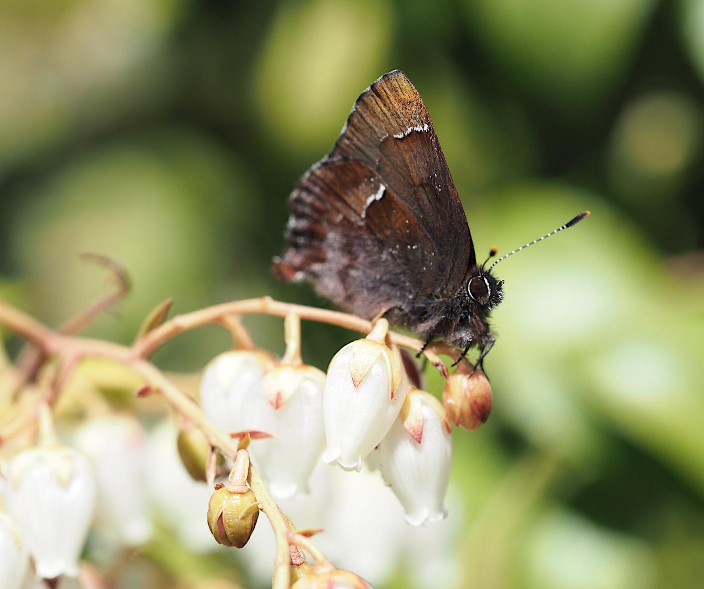 アセビにくる蝶たち、コツバメ(2019年3月27日)_d0303129_14192015.jpg