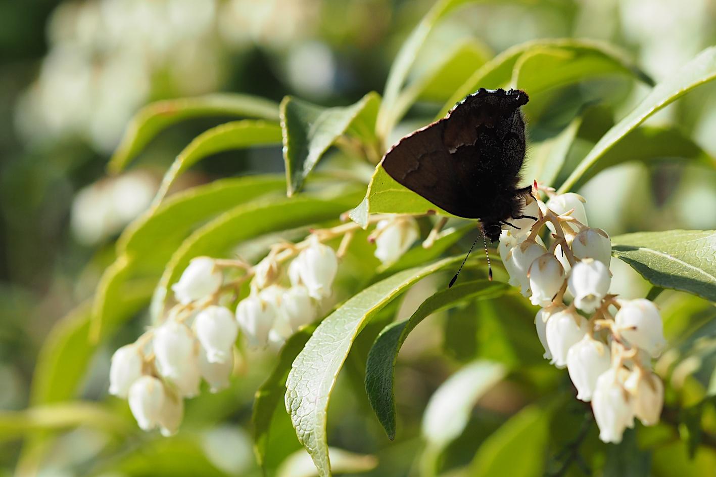 アセビにくる蝶たち、コツバメ(2019年3月27日)_d0303129_14192754.jpg