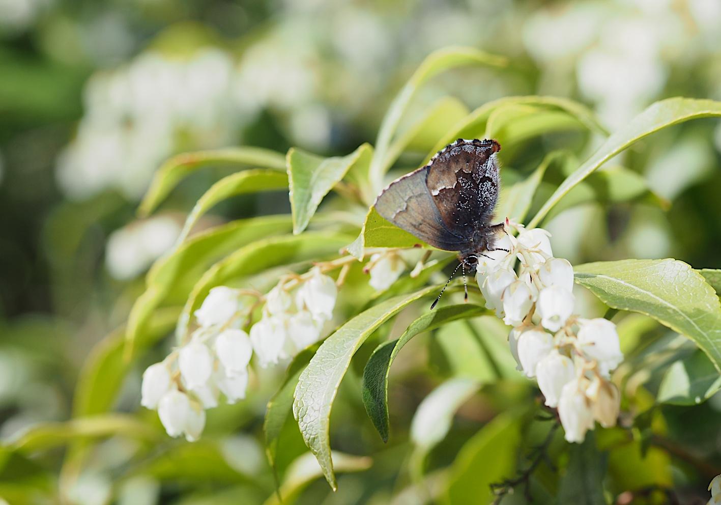 アセビにくる蝶たち、コツバメ(2019年3月27日)_d0303129_14193678.jpg
