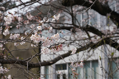 sakura 桜_b0028732_14012330.jpg