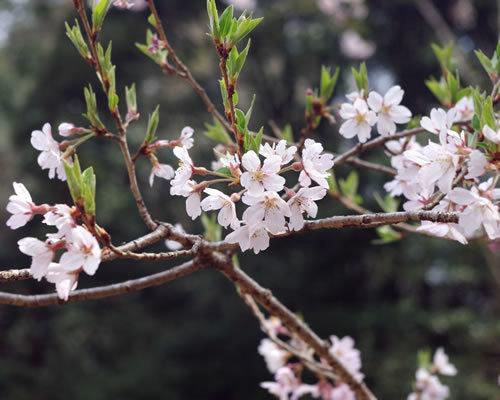 桜の季節_b0191737_07001727.jpg