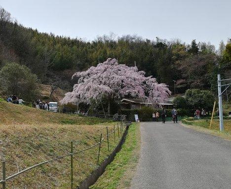 西分のしだれ桜と、公渕公園:淡墨桜_b0149340_13222586.jpg