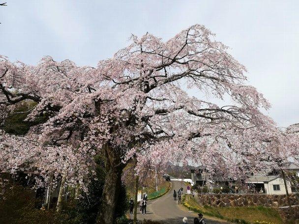 西分のしだれ桜と、公渕公園:淡墨桜_b0149340_13223201.jpg