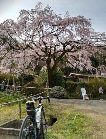 西分のしだれ桜と、公渕公園:淡墨桜_b0149340_13224021.jpg