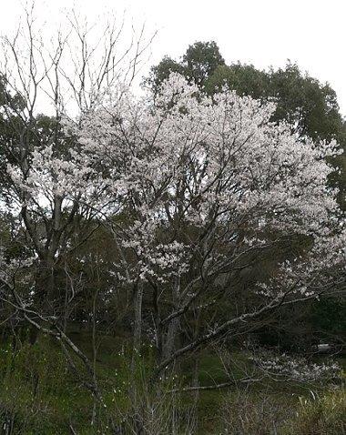 西分のしだれ桜と、公渕公園:淡墨桜_b0149340_13224475.jpg