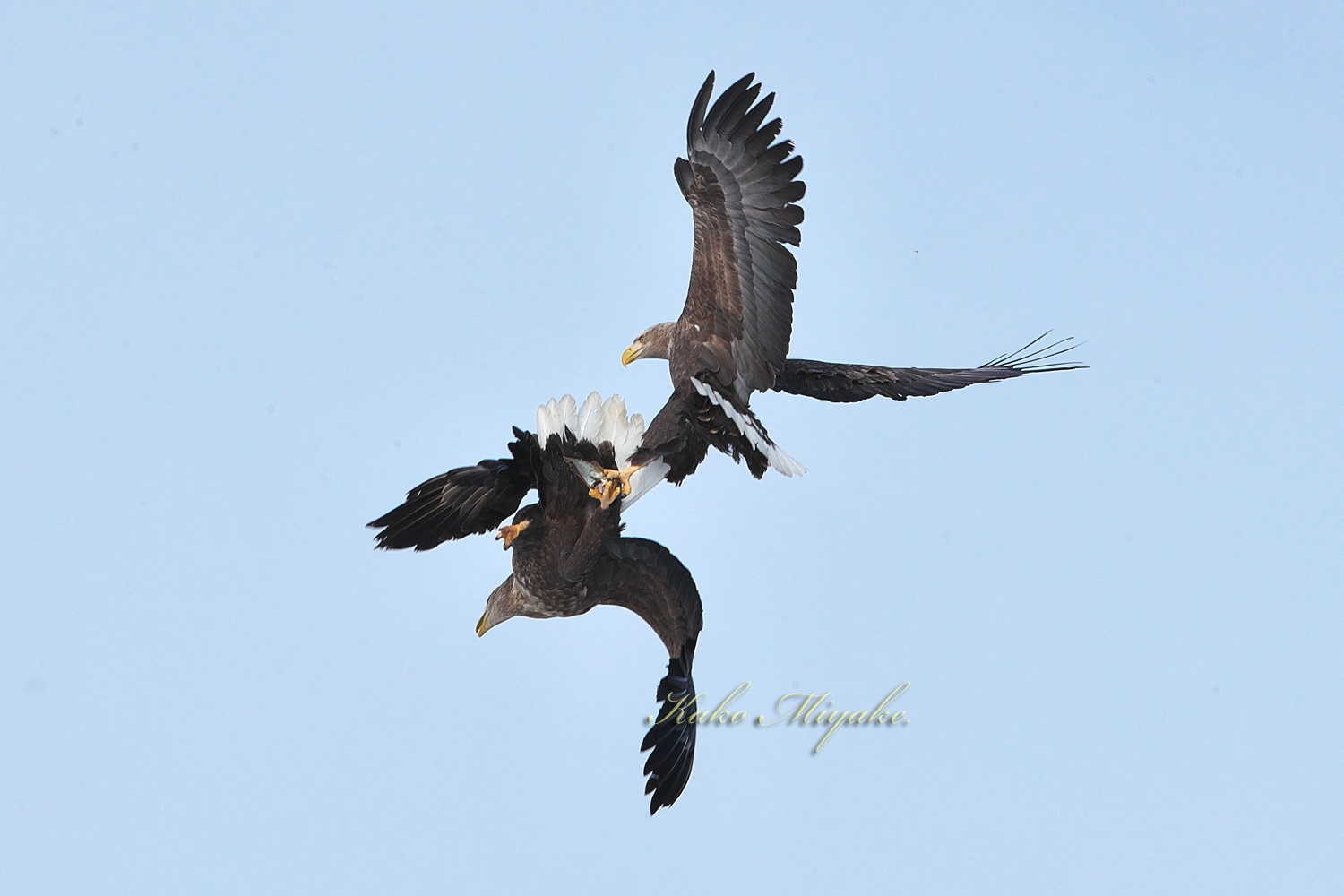 オオワシ(Steller\'s sea eagle )とオジロワシ(White-tailed eagle)_d0013455_11192666.jpg
