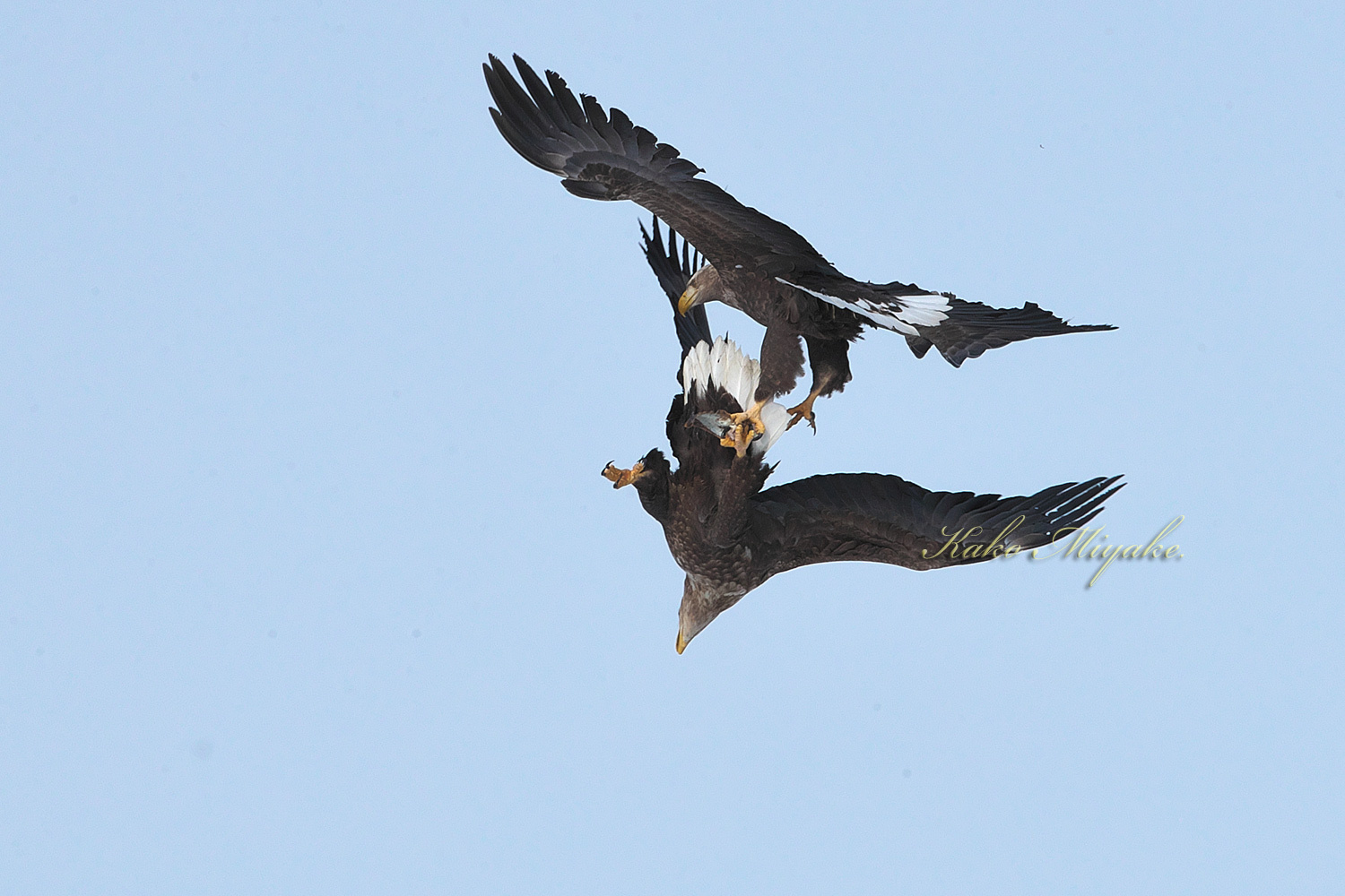 オオワシ(Steller\'s sea eagle )とオジロワシ(White-tailed eagle)_d0013455_11200003.jpg
