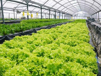 水耕栽培の新鮮野菜 朝採り新鮮野菜を即日発送!無農薬栽培の生野菜!今なら全商品がそろってます!_a0254656_16471126.jpg