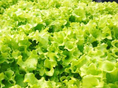 水耕栽培の新鮮野菜 朝採り新鮮野菜を即日発送!無農薬栽培の生野菜!今なら全商品がそろってます!_a0254656_17183413.jpg