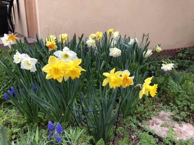 球根の花「ムスカリ」「水仙」が見頃になりました_a0243064_09252979.jpg