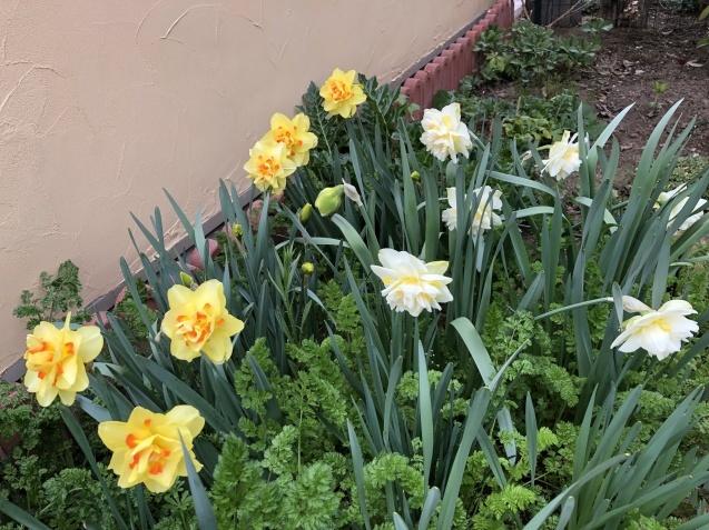 球根の花「ムスカリ」「水仙」が見頃になりました_a0243064_09265532.jpg