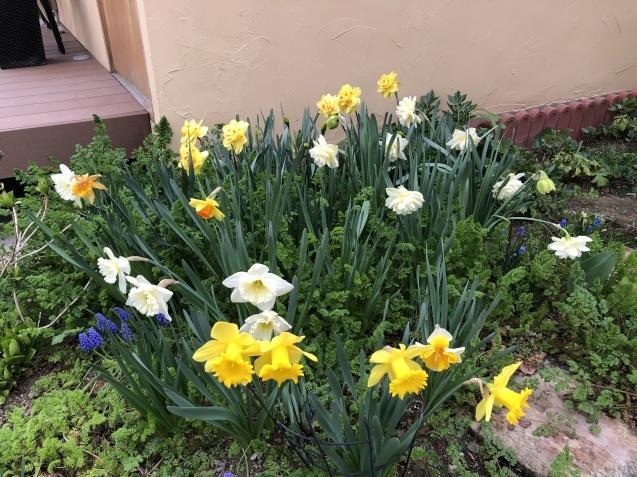 球根の花「ムスカリ」「水仙」が見頃になりました_a0243064_09274955.jpg