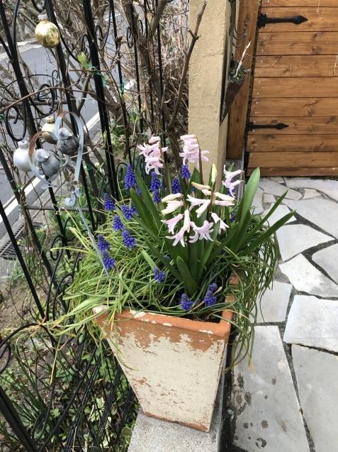 球根の花「ムスカリ」「水仙」が見頃になりました_a0243064_09301614.jpg