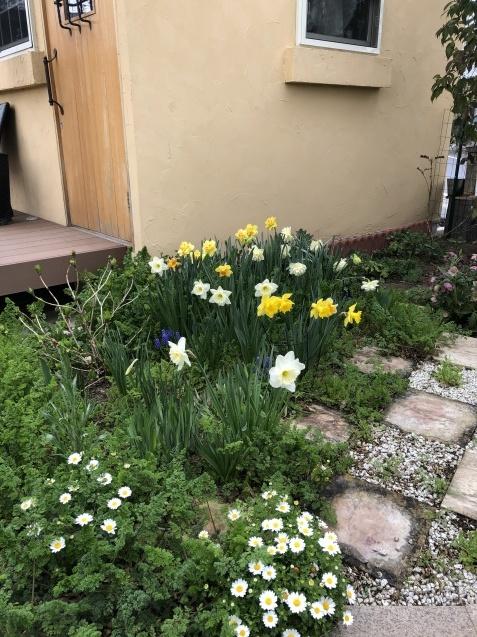 球根の花「ムスカリ」「水仙」が見頃になりました_a0243064_09373643.jpg