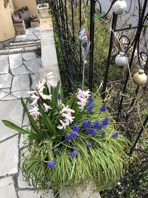 球根の花「ムスカリ」「水仙」が見頃になりました_a0243064_09385844.jpg