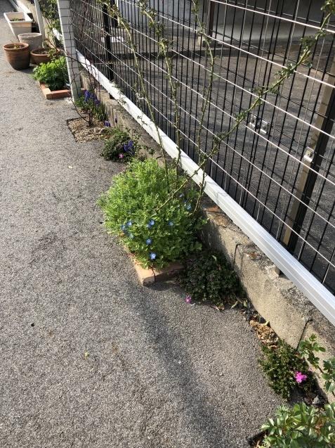 球根の花「ムスカリ」「水仙」が見頃になりました_a0243064_09460939.jpg