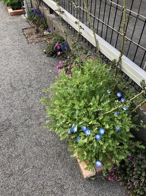 球根の花「ムスカリ」「水仙」が見頃になりました_a0243064_09505831.jpg