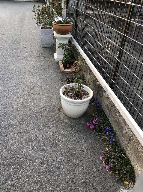 球根の花「ムスカリ」「水仙」が見頃になりました_a0243064_09512179.jpg