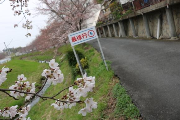 番外編 秋篠川の桜の状況_c0001670_21464820.jpg