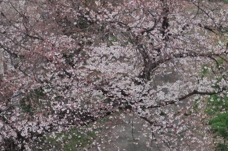 出掛けなくても、、、家の周りでお花見です_e0292172_16464058.jpg