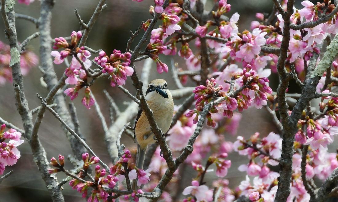 桜のなかでモズの速贄  鳥さん達の囀り キセキレイ ジョウビタキ_f0053272_20545966.jpg