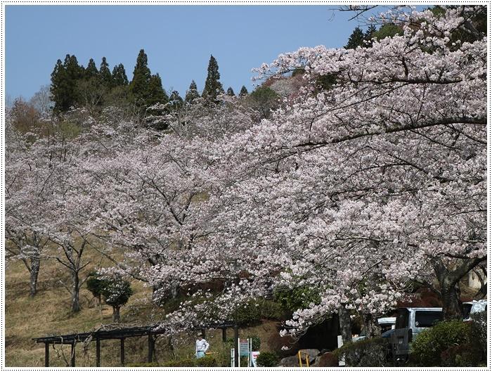 県南はもう桜満開、やっぱり桜は春を代表する日本の象徴みたいなお花ですね~毎年見ててもうっとり。。_b0175688_20233344.jpg