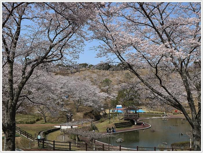 県南はもう桜満開、やっぱり桜は春を代表する日本の象徴みたいなお花ですね~毎年見ててもうっとり。。_b0175688_20233802.jpg