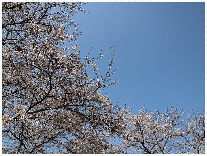 県南はもう桜満開、やっぱり桜は春を代表する日本の象徴みたいなお花ですね~毎年見ててもうっとり。。_b0175688_20234277.jpg