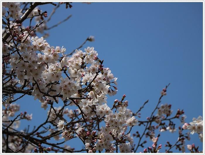 県南はもう桜満開、やっぱり桜は春を代表する日本の象徴みたいなお花ですね~毎年見ててもうっとり。。_b0175688_20234620.jpg