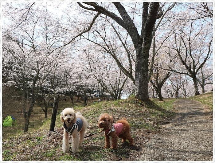 県南はもう桜満開、やっぱり桜は春を代表する日本の象徴みたいなお花ですね~毎年見ててもうっとり。。_b0175688_20235161.jpg