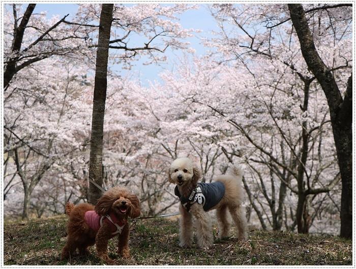 県南はもう桜満開、やっぱり桜は春を代表する日本の象徴みたいなお花ですね~毎年見ててもうっとり。。_b0175688_20235522.jpg