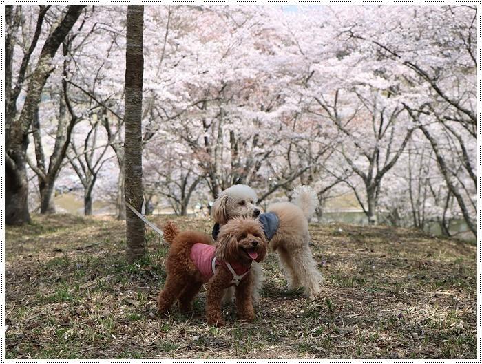 県南はもう桜満開、やっぱり桜は春を代表する日本の象徴みたいなお花ですね~毎年見ててもうっとり。。_b0175688_20235953.jpg