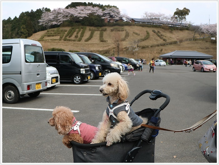 県南はもう桜満開、やっぱり桜は春を代表する日本の象徴みたいなお花ですね~毎年見ててもうっとり。。_b0175688_20274003.jpg