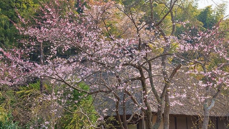 鎌倉・龍宝寺と久成寺の桜_b0145398_23173967.jpg