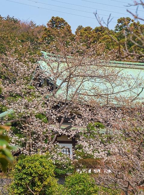 鎌倉・龍宝寺と久成寺の桜_b0145398_23191609.jpg