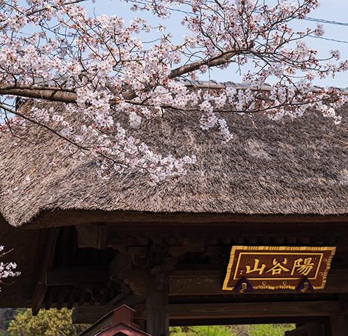 鎌倉・龍宝寺と久成寺の桜_b0145398_23193283.jpg