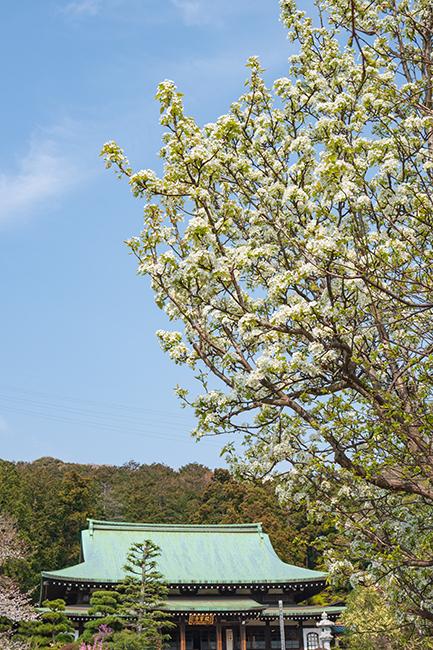 鎌倉・龍宝寺と久成寺の桜_b0145398_23200205.jpg