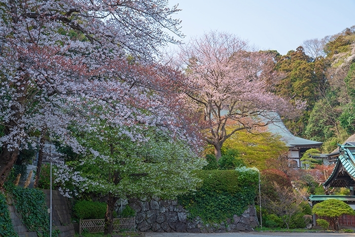 鎌倉・龍宝寺と久成寺の桜_b0145398_23220045.jpg