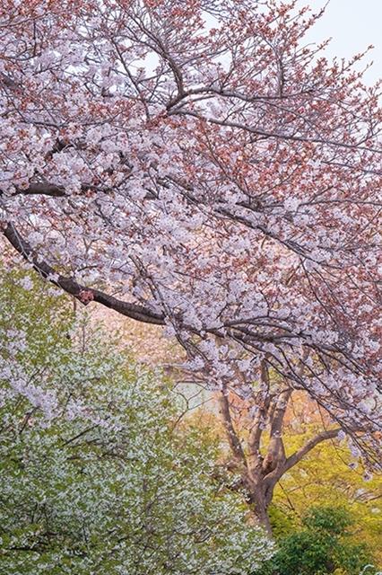 鎌倉・龍宝寺と久成寺の桜_b0145398_23221587.jpg