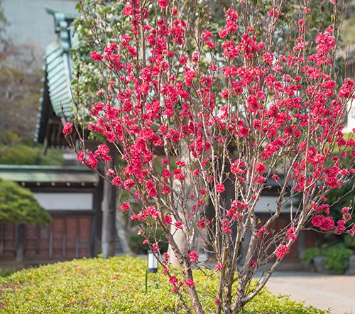鎌倉・龍宝寺と久成寺の桜_b0145398_23222998.jpg